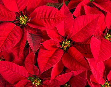 Closeup of red poinsettias (Euphorbia pulcherrima) flower background